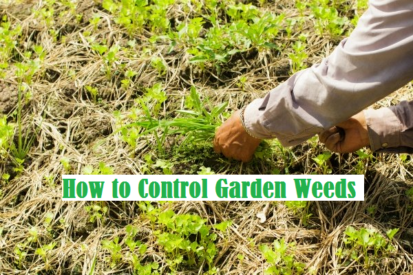 control weeds with essential things